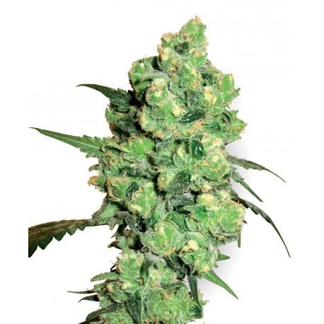 buy cannabis seeds Super Skunk