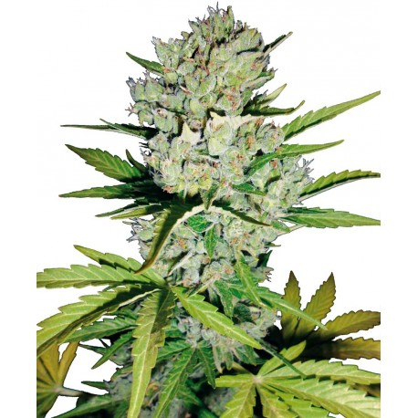 buy cannabis seeds Super Skunk Automatic
