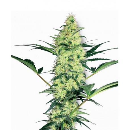buy cannabis seeds White Diesel