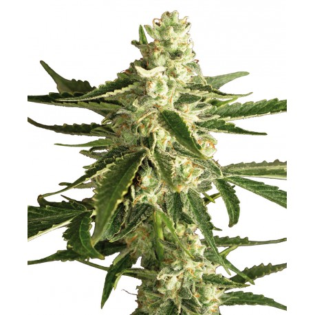 buy cannabis seeds White Diesel Haze AUTO
