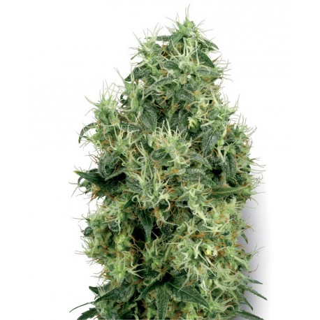 buy cannabis seeds White Gold