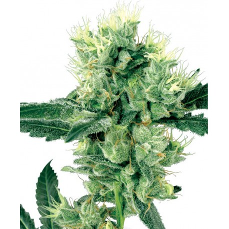 buy cannabis seeds White Haze