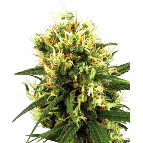 buy cannabis seeds White Haze AUTOMATIC