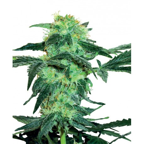 buy cannabis seeds White Ice