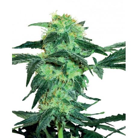 buy cannabis seeds White Ice