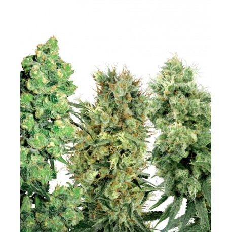 buy cannabis seeds White Label Mix