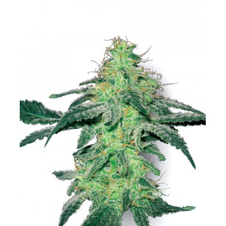 buy cannabis seeds White Skunk