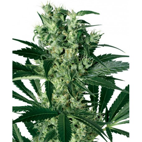 buy cannabis seeds X - Haze