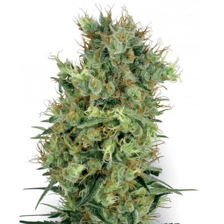 buy cannabis seeds Cali Orange Bud
