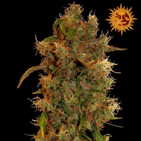 buy cannabis seeds Acapulco Gold