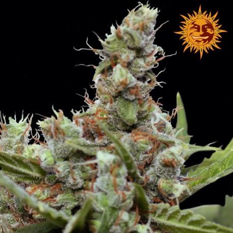 buy cannabis seeds CBD Blue Shark