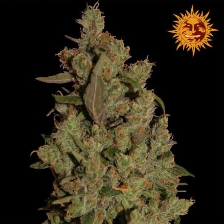 buy cannabis seeds CBD Critical Cure