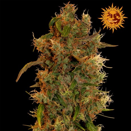 buy cannabis seeds 8 Ball Kush