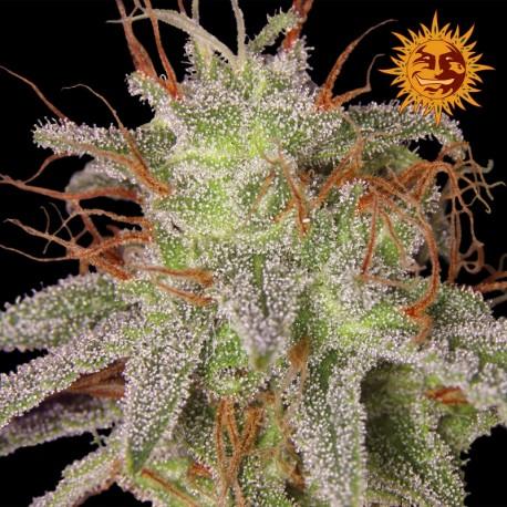 buy cannabis seeds Amnesia Lemon