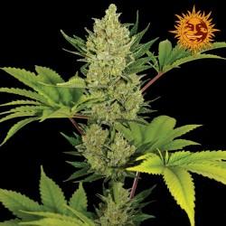 Blue Cheese Auto cannabis seeds Barneys Farm
