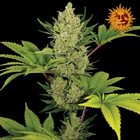 buy cannabis seeds Blue Cheese Auto