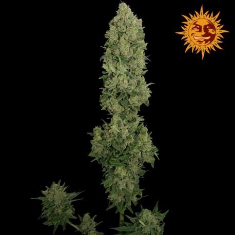 buy cannabis seeds NYC Diesel Auto
