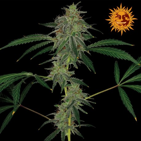 buy cannabis seeds Blue Mammoth Auto
