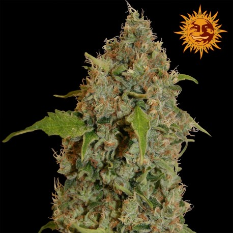 buy cannabis seeds Chronic Thunder
