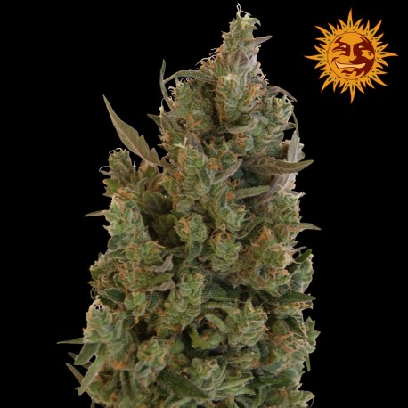 buy cannabis seeds Blue Cheese