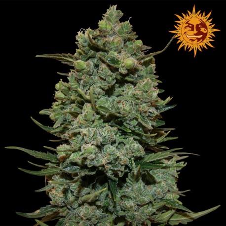 buy cannabis seeds Cookies Kush