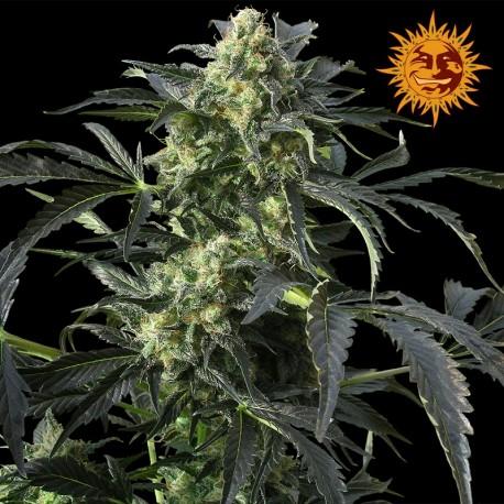 buy cannabis seeds Crimea Blue
