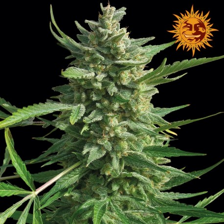 buy cannabis seeds Critical Kush