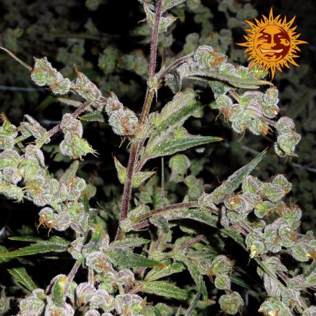 buy cannabis seeds Dr. Grinspoon
