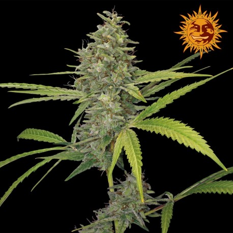 buy cannabis seeds G13 Haze