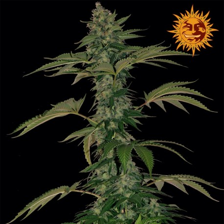 buy cannabis seeds Grape Muerto Auto