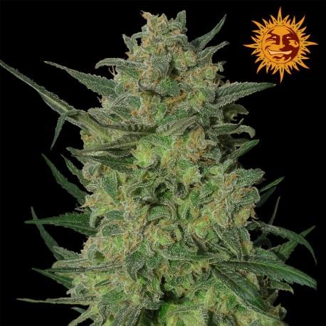 buy cannabis seeds L.S.D.