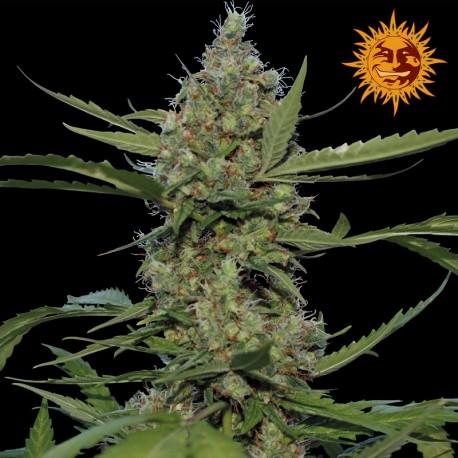 buy cannabis seeds Laughing Buddha