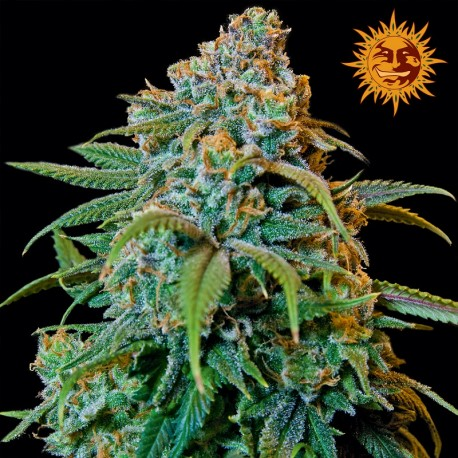 buy cannabis seeds Liberty Haze