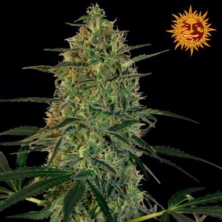 buy cannabis seeds Malana Bomb Auto