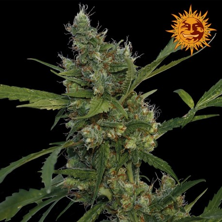 buy cannabis seeds Morning Glory