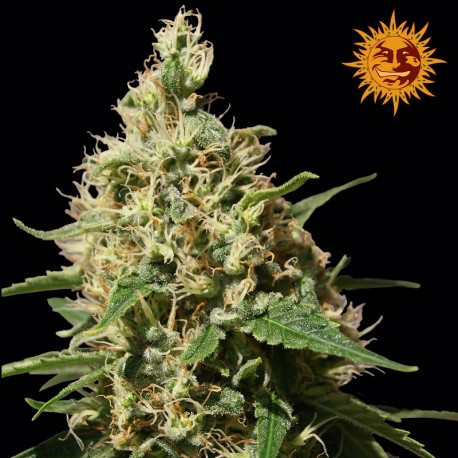 buy cannabis seeds Peppermint Kush