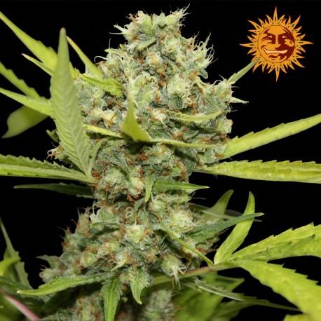 buy cannabis seeds Pineapple Chunk