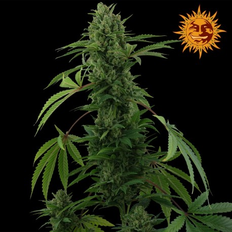 buy cannabis seeds Pineapple Express Auto