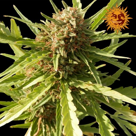 buy cannabis seeds Red Cherry Berry