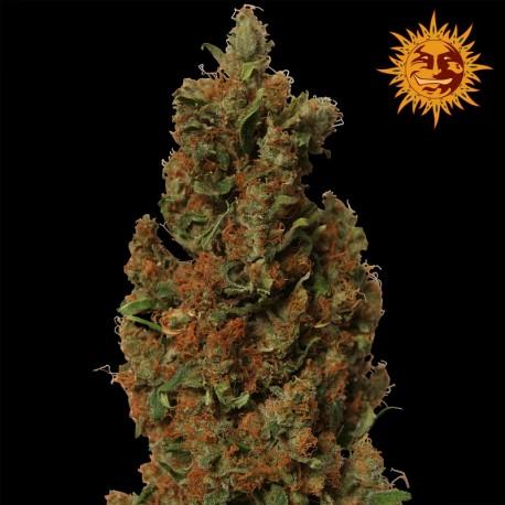 buy cannabis seeds Red Diesel
