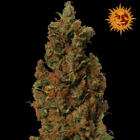 buy cannabis seeds Red Diesel