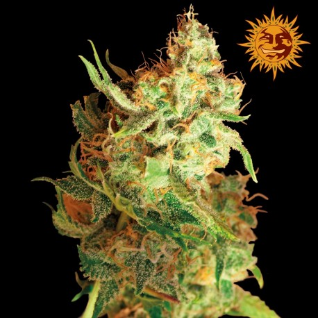 buy cannabis seeds Red Dragon