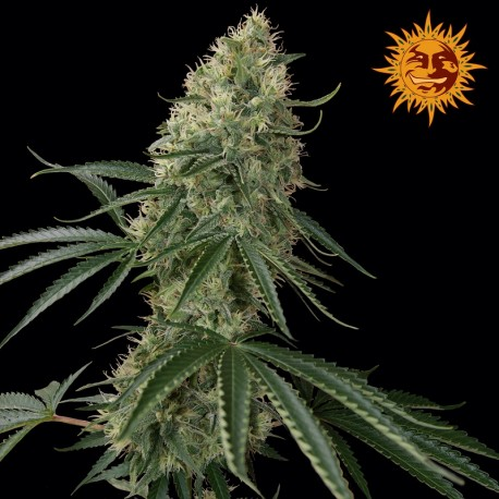 buy cannabis seeds Sin Tra Bajo Auto