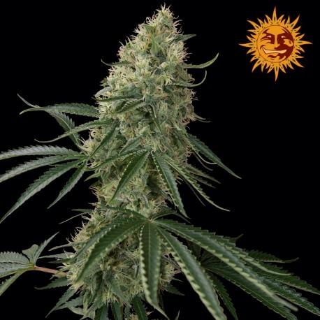 buy cannabis seeds Sin Tra Bajo Auto
