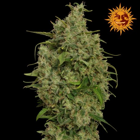 buy cannabis seeds Sweet Tooth