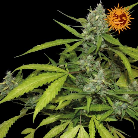 buy cannabis seeds Sweet Tooth Auto