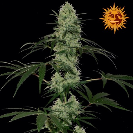 buy cannabis seeds Tangelo Rapido Auto