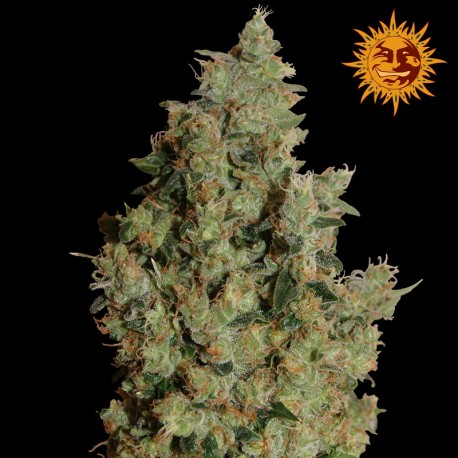 buy cannabis seeds Tangerine Dream