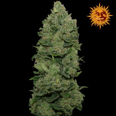 buy cannabis seeds Top Dawg