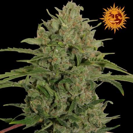 buy cannabis seeds Triple Cheese